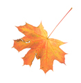 Maple leaf. Close up. - PhotoDune Item for Sale