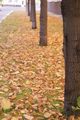 Line of trees on the autumn avenue. - PhotoDune Item for Sale