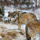 Wolf pack roaming around in the forest in early winter - PhotoDune Item for Sale