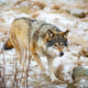 Magnificent wolf running in the forest in early winter - PhotoDune Item for Sale