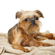 Brussels Griffon puppy lies on  blanket - PhotoDune Item for Sale