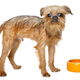 Griffon puppy eating from bowl - PhotoDune Item for Sale