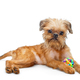 Brussels Griffon puppy with toy - PhotoDune Item for Sale