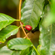 Close-Up Of Fresh Ripe Coffee Fruits Growing In Farm - PhotoDune Item for Sale