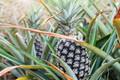 Pineapple on tree - PhotoDune Item for Sale