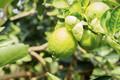 Lemon on tree at sunlight - PhotoDune Item for Sale