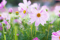 Pink cosmos with morning sun - PhotoDune Item for Sale