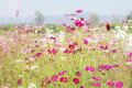 Cosmos flowers with daylight - PhotoDune Item for Sale