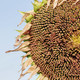 Sunflowers of old seeds - PhotoDune Item for Sale