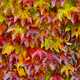 Free Download Autumn leaves on green and red tone. Fall background. Horizontal Nulled