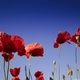 Free Download The poppy at the end of flowering Nulled