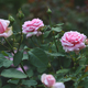 Pink roses in garden - PhotoDune Item for Sale