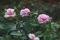 Pink roses in garden - PhotoDune Item for Sale
