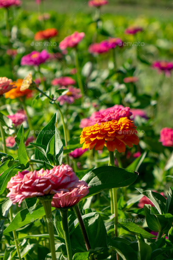 Blooming flower bed with flowers of zinia in a rural garden. Natural summer background - Stock Photo - Images