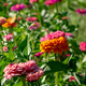 Blooming flower bed with flowers of zinia in a rural garden. Natural summer background - PhotoDune Item for Sale