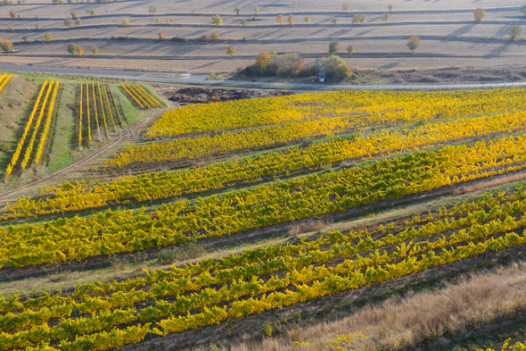 Aerial view of a vineyard plantation in late afternoon lights. Drone shot - Stock Photo - Images