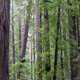 Forest of Redwood Trees - PhotoDune Item for Sale