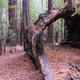 Hollow Redwood Tree Stump - PhotoDune Item for Sale