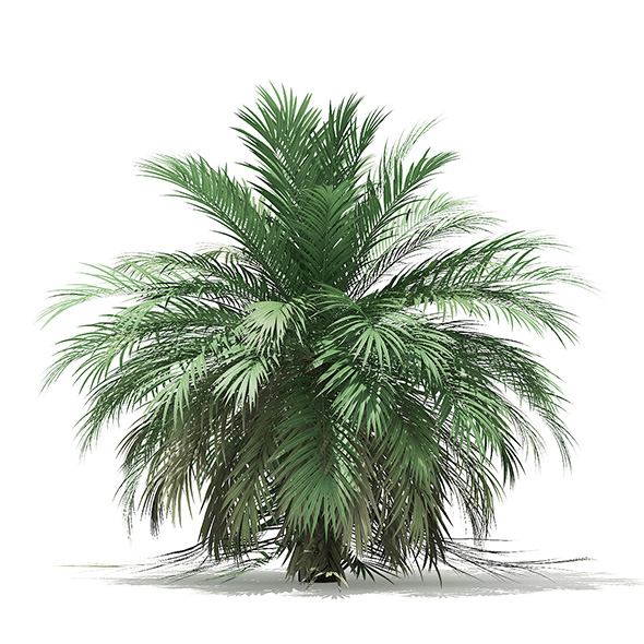 Butia Palm Tree 3D Model 3.5m - 3DOcean Item for Sale