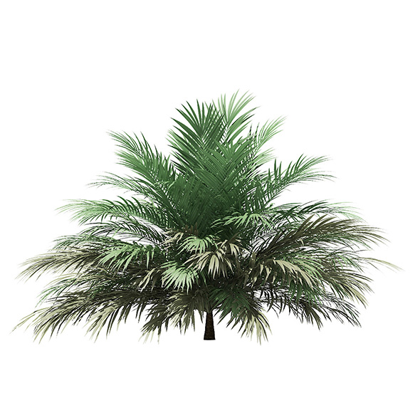 Butia Palm Tree 3D Model 2m - 3DOcean Item for Sale
