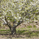 Cherry blossom hills in Jerte Valley, Caceres. Spring in Spain - PhotoDune Item for Sale