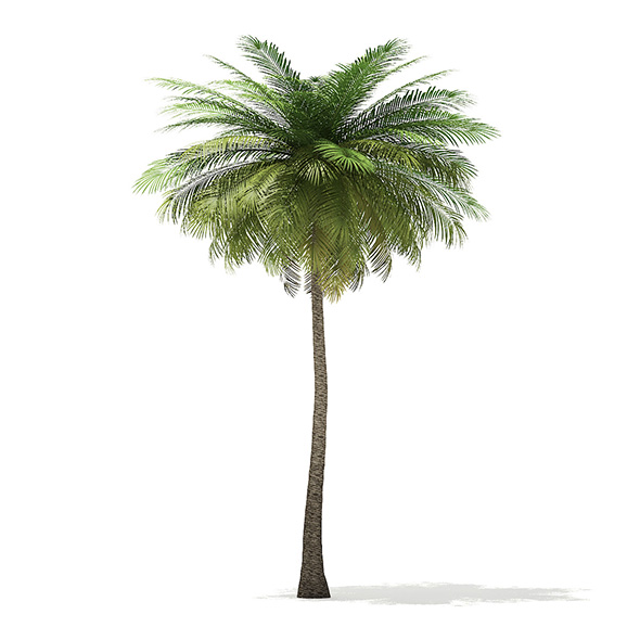 Coconut Palm Tree 3D Model 9m - 3DOcean Item for Sale