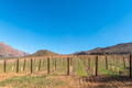 Vineyards at Kromrivier in the Cederberg Mountains - PhotoDune Item for Sale