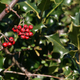 Free Download Red Berries on Holly Tree in Forest Nulled