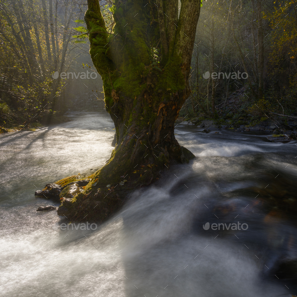 Old tree in the middle of the stream - Stock Photo - Images