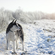 siberian husky in winter - PhotoDune Item for Sale