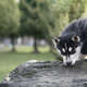 siberian husky sits - PhotoDune Item for Sale
