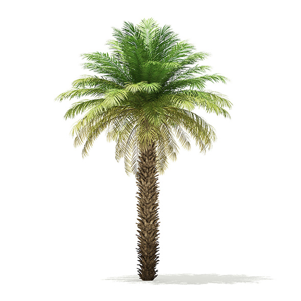 Date Palm Tree 3D Model 7m - 3DOcean Item for Sale