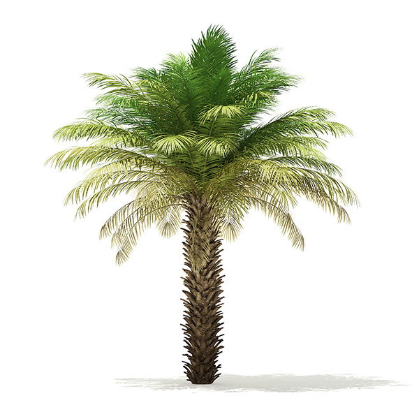 Date Palm Tree 3D Model 5m - 3DOcean Item for Sale
