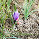Saffron flower showing the red stigma - PhotoDune Item for Sale