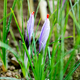 Close up detail on buds on a saffron plant - PhotoDune Item for Sale