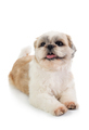 cute shih tzu dog with tongue sticking out sitting on the floor - PhotoDune Item for Sale