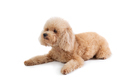 curly-haired poodle lying on the floor - PhotoDune Item for Sale