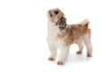 cute little shih tzu dog looking above - PhotoDune Item for Sale