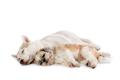 lazy siberian husky and shih tzu sleeping together on the floor - PhotoDune Item for Sale
