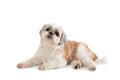 cute lazy shih tzu dog lying on the floor - PhotoDune Item for Sale