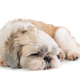 cute shih tzu dog sleeping on the floor - PhotoDune Item for Sale
