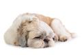cute shih tzu dog sleeping on the floor - PhotoDune Item for Sale