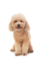 cute curly-haired poodle looking at camera - PhotoDune Item for Sale