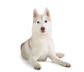 gorgeous siberian husky sitting on the floor and looking at came - PhotoDune Item for Sale