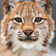 Close-up portrait of eurasian lynx in the forest - PhotoDune Item for Sale
