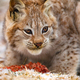 Young eurasian lynx eating meat in the forest at early winter - PhotoDune Item for Sale