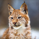 Portrait of eurasian lynx in the forest at early winter - PhotoDune Item for Sale