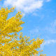 Free Download Yellow ginkgo leaf tree Nulled