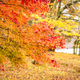 Free Download Beautiful maple leaf tree in autumn season Nulled