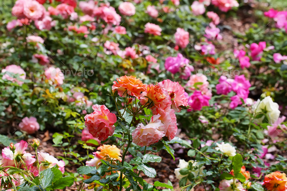 Colorful wild roses - Stock Photo - Images